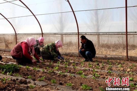 图为甘州区瑞林畜禽养殖农民专业合作社的高原夏菜种植。 洪莹 摄