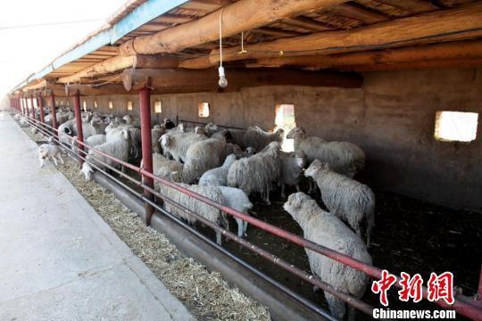 """近年来,甘肃省张掖市甘州区瑞林畜禽养殖农民专业合作社,推广""""种养林""""资源循环利用模式,不仅带来了经济效益,而且生态效益日益凸显。 洪莹 摄"""