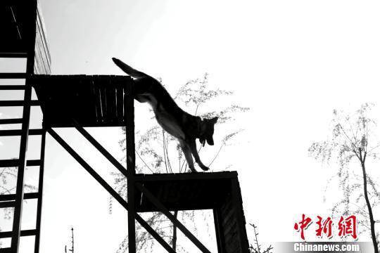 图为接受训练的犬只攀爬四级阶梯。 郑兵 摄