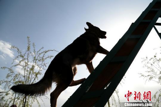 图为训练犬只攀爬阶梯。 郑兵 摄
