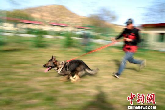 4月18日,甘肃平凉市崆峒区一家训犬基地,景少敏正在进行犬只的奔跑攀爬训练。 郑兵 摄