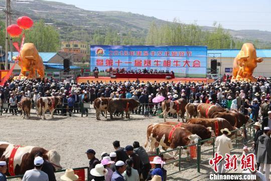 5月初,甘肃临夏州康乐县牛文化旅游节暨第十一届赛牛相牛大会召开。 马晓春 摄