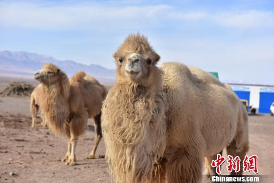 图为萌萌的骆驼。 曹雪梅 摄