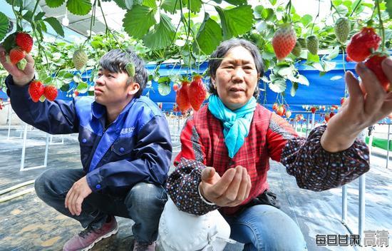 种植户正在无土栽培草莓大棚内給草莓疏果。