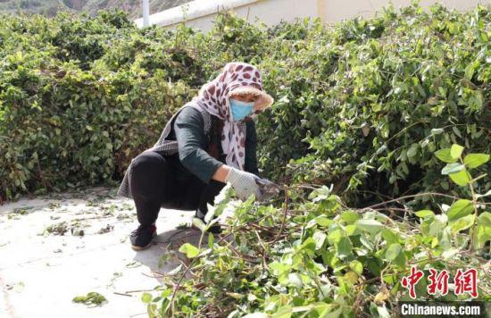 甘肃通渭县李家店村扶贫车间,工作人员正在修剪金银花树苗。