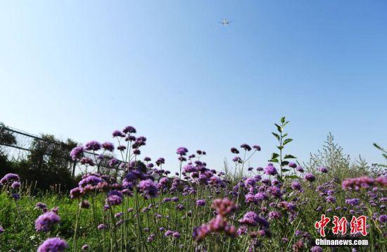 图为航班飞过花海。 杨艳敏 摄
