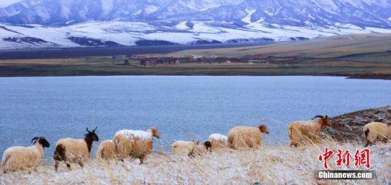 """飞雪中,牛羊在已经泛绿的草原上吃草,含苞待放的花朵被覆盖,露出""""尖尖角"""",甚是美丽。王超 摄"""