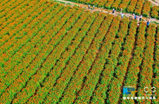 这是近日在甘肃省张掖市民乐县航拍的万寿菊花海。进入八月,位于祁连山北麓的民乐县六坝镇种植的1000多亩万寿菊进入盛花期。新华网发 (王将 摄)