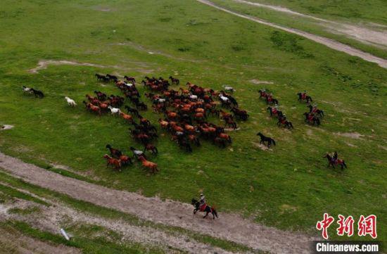 """图为""""世界第一大马场""""甘肃山丹马场马匹成群,奔跑在祁连山草场。(资料图) 杨艳敏 摄"""