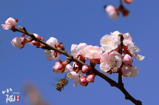 一年之计在于春,为了迎接酷寒的冬日,辛勤的蜜蜂正在努力采花酿蜜。