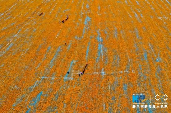 空中俯瞰甘肃省张掖市甘州区一制种玉米晒场。新华网发(王将 摄)