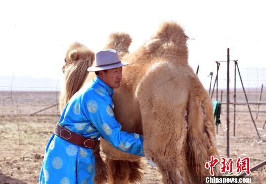 甘肃省肃北县牧民西尼扣家几代人都是养驼驯驼的好手。到他这一代,把成家时分到的30峰骆驼养到了现在的100多峰,而且越养越有信心。图为西尼扣挤驼奶。 曹雪梅 摄