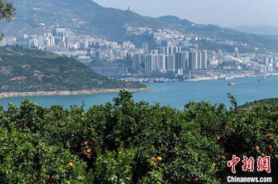 图为长江奉节段两岸的橘林。 何蓬磊 摄