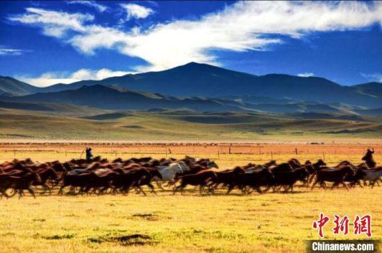 图为甘肃甘南境内,马群驰骋草原的景观。(资料图) 甘南州委宣传部供图