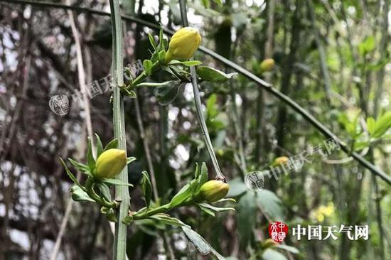 昨天湖北武汉转晴升温,迎春花含苞待放。(图/李雨谦)