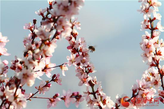 除了赏花的人们,还有忙碌的小蜜蜂,辛勤劳作不错过花季,终将收获甜蜜果实。