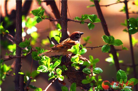 鸟鸣枝头 春来到