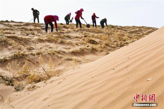"""多年来,临泽民众持续防沙治沙,筑牢生态安全屏障,与沙漠这个危害生态的""""黄龙""""打起了人进沙退的""""持久战"""",从源头上防止生态环境恶化。王将 摄"""