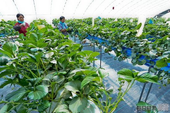 种植户正在无土栽培草莓大棚内给草莓减苗。