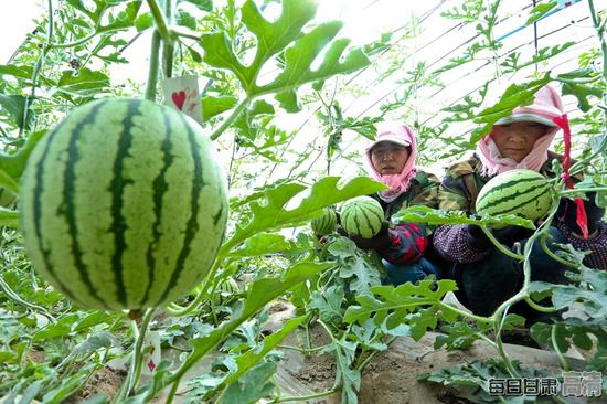 种植户正在高标准日光温室内正在采摘成熟的西瓜。