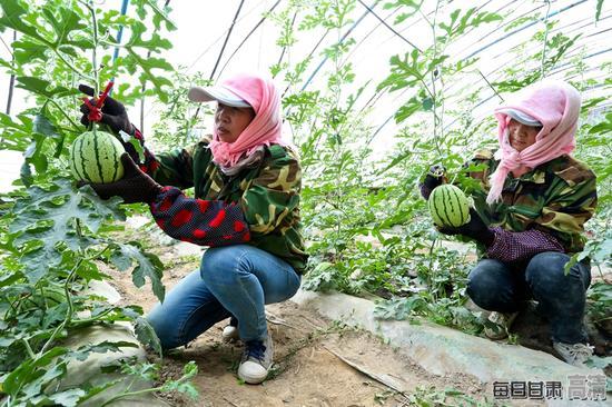 种植户正在高标准日光温室内查看种植西瓜生长情况。