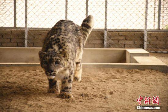 近年来,该救护站共引进和保护救助野生动物藏野驴、野骆驼、盘羊、金雕等国家稀有野生保护动物共22种150余头(只)。图为雪豹正在进行野化训练。 高宏善 摄