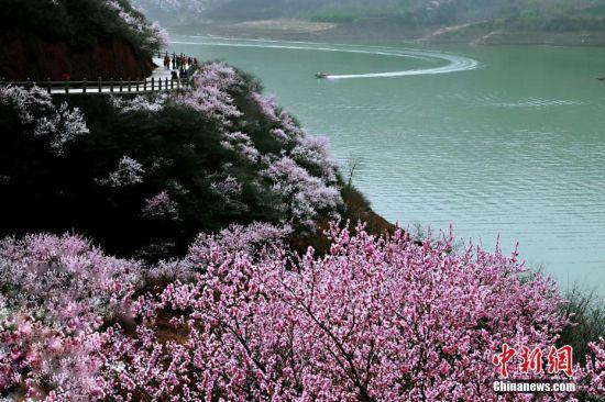 漫山遍野的桃花开得正旺。万小莲 摄