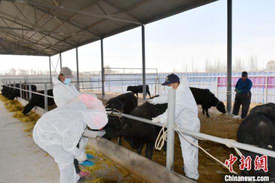 近年来,甘肃省酒泉市瓜州县农民从原先守着耕地赚辛苦钱,到如今发展牛产业。图为技术人员给牛除虫。 魏金龙 摄
