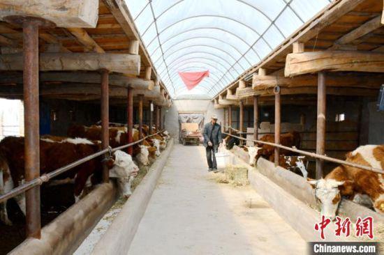 图为瓜州县河东镇双泉村村民孔宪福给牛喂水。 魏金龙 摄