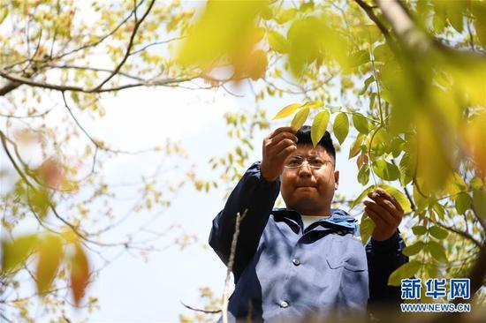 王磊在查看核桃树的生长情况(4月23日摄)。 新华社记者 陈斌 摄