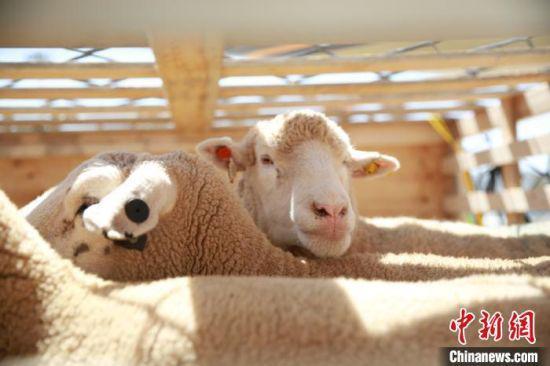 图为此次引进的澳大利亚种羊。兰州海关供图