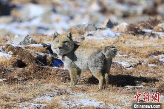 图为甘肃肃南祁连山区拍摄的断尾藏狐。(资料图) 郎文瑞 摄