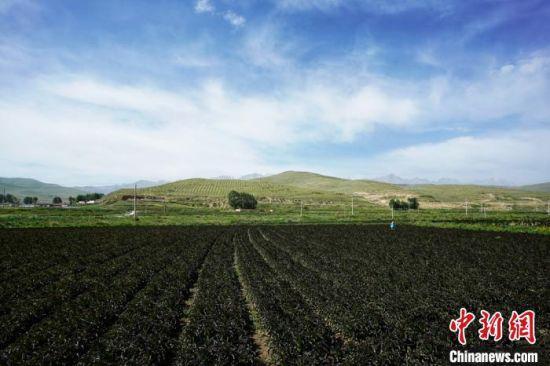 8月28日拍摄的甘肃武威市天祝县高原绿色(有机)蔬菜基地红笋,今年天祝县种植高原蔬菜已超过10万亩。