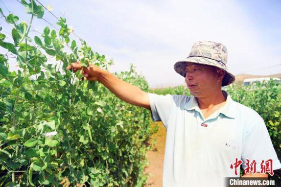 当地居民张海林在自家豌豆田里采摘。