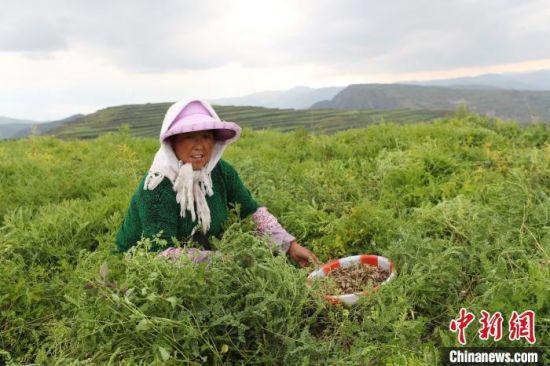 村民正在采收成熟的当归种子。