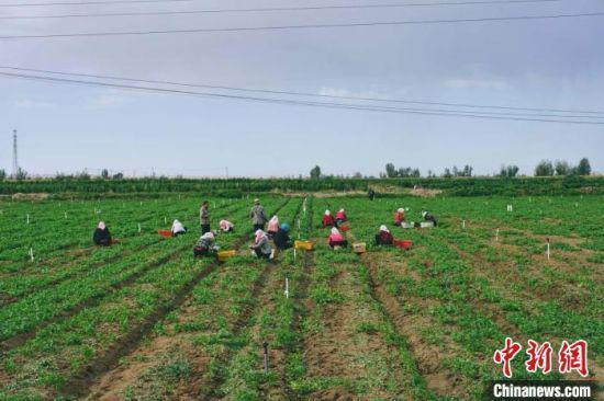 图为采摘工人在基地收割香菜。