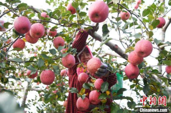 2020年10月28日,灵台县农民在树林中采摘苹果。(资料图) 杨艳敏 摄