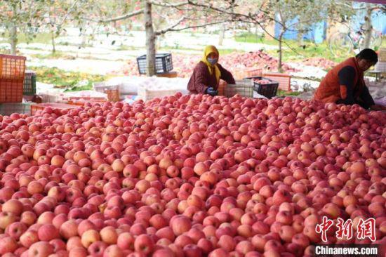 2020年10月28日,灵台县黄土塬上的苹果丰收。(资料图) 杨艳敏 摄
