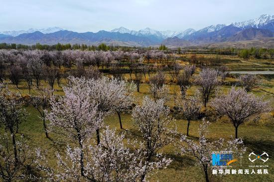 这是近日在甘肃省张掖市高台县新坝镇拍摄的杏花。时下,祁连山脚下的杏花竞相绽放,成片杏花在雪山的映衬下显得格外娇艳美丽。新华网发(郑耀德 摄)