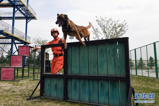 在兰州国家陆地搜寻与救护基地,武警甘肃总队机动支队搜救犬进行矮板墙跃过训练(5月10日摄)。新华社记者 范培珅 摄