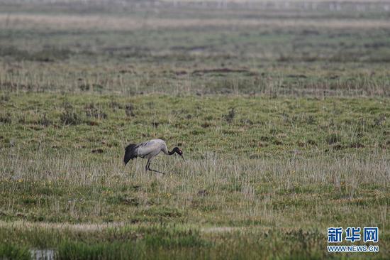 这是6月2日在甘肃省甘南藏族自治州碌曲县尕海湖拍摄的国家一级保护动物黑颈鹤。新华社记者 杜哲宇 摄