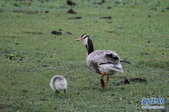 这是6月2日在甘肃省甘南藏族自治州碌曲县尕海湖拍摄的斑头雁及其幼鸟。新华社记者 杜哲宇 摄
