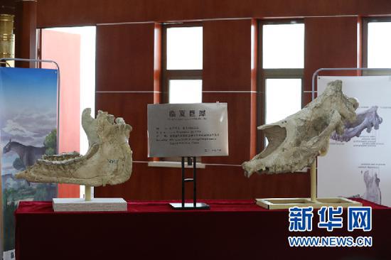 临夏巨犀部分化石。新华社记者 程楠 摄