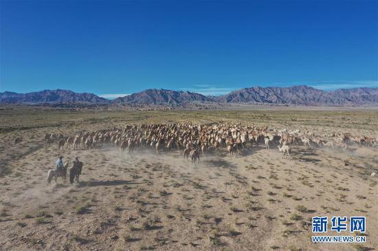 7月7日,阿克塞县红柳湾镇加尔乌宗村牧民赶着数百头骆驼前往夏季牧场(无人机照片)。 新华社发(高宏善 摄)