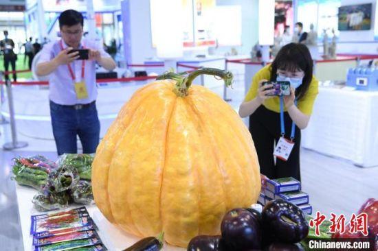 第27届兰洽会展馆内,航天育种的巨型南瓜、茄子、辣椒、西红柿吸引宾客。 杨艳敏 摄