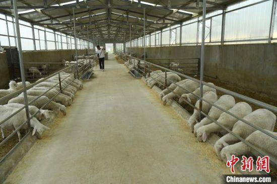 李坪村万只良种肉羊繁育基地内部。(资料图) 梁永吉 摄