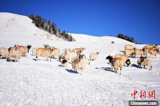 2018年4月初,祁连山雪后风光旖旎。图为雪地里的羊群。(资料图) 武雪峰 摄