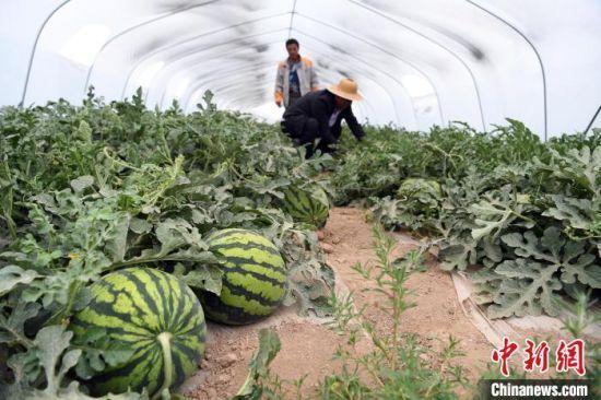 图为农户采摘无籽西瓜。 杨艳敏 摄
