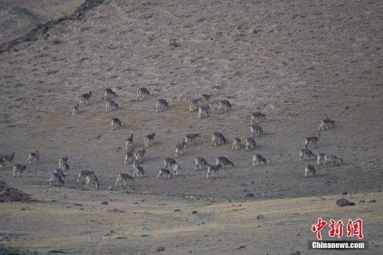 岩羊漫步觅食。高宏善 摄