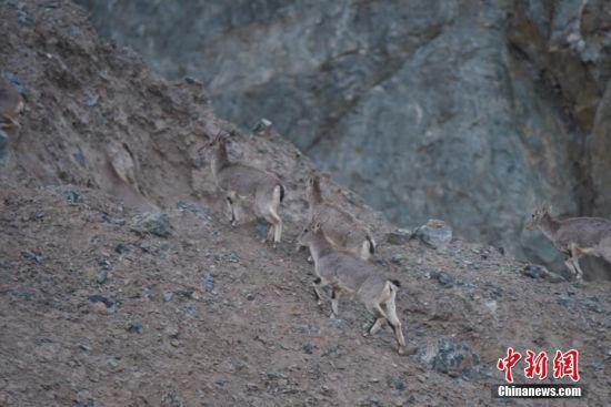 岩羊快速爬上半山腰。 高宏善 摄